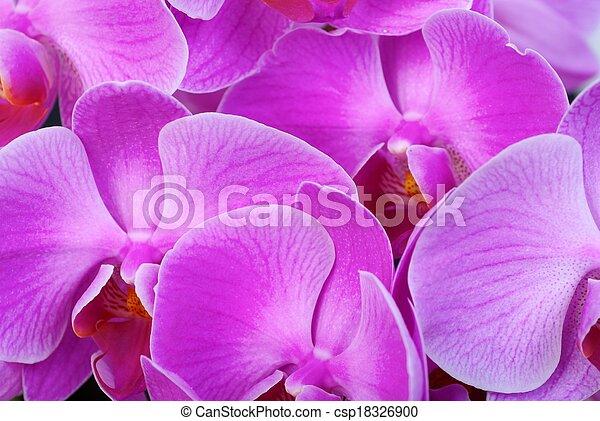 orchid - csp18326900