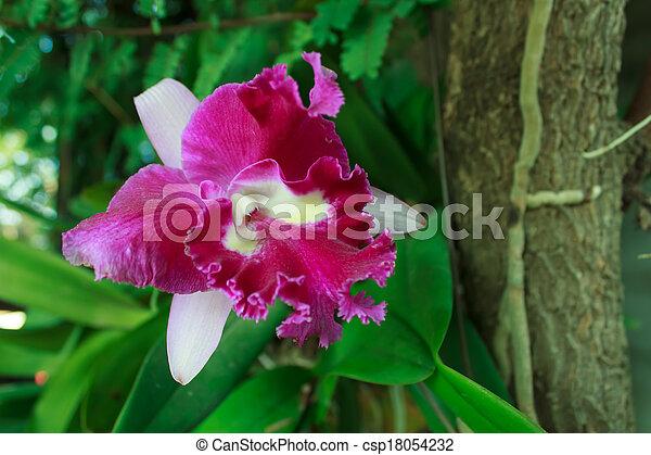 orchid - csp18054232