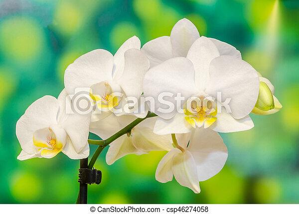 Orchidaceae, orchidee, abbreviated, blumen, moth, phal ...