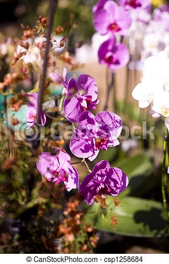 orchidea - csp1258684