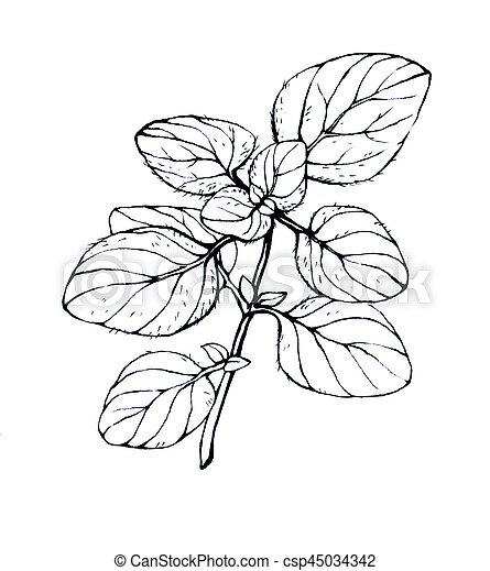 oregano. hand drawn black and white illustration on white