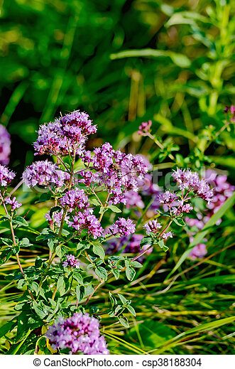 Oregano lilac with leaves - csp38188304