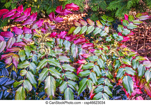 The holly like leaves and fragrant yellow flowers of the oregon the holly like leaves and fragrant yellow flowers of the oregon grape holly mahonia aquifolium mightylinksfo