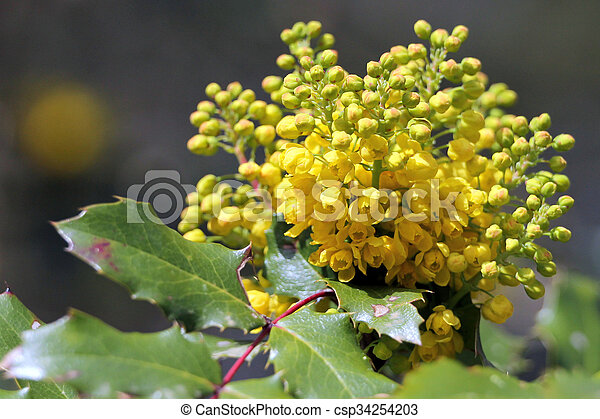 Oregon Grape in Bloom - csp34254203
