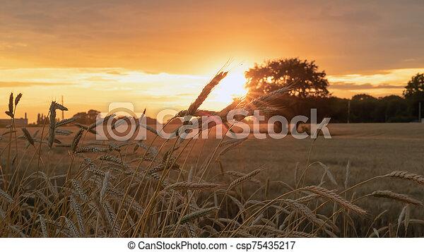 oreilles, blé, pendant, champ coucher soleil - csp75435217