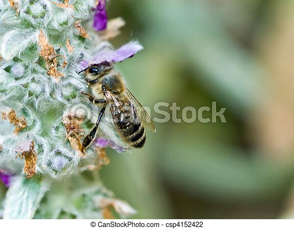 Una abeja en una planta de flores de corderos - csp4152422