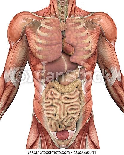Organe, muskeln, oberkörper, mann. Oberkörper, muskeln, skelett ...