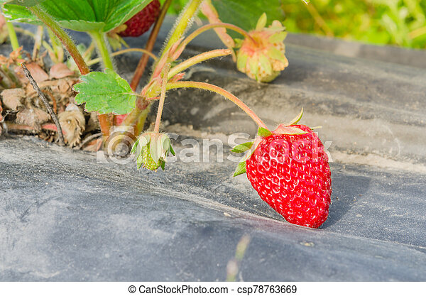 Organic bright red strawberries on black plastic mulch ready to harvest in Washington, US - csp78763669