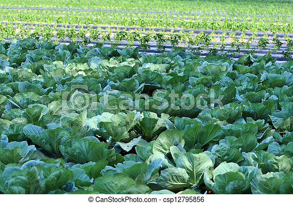 Organic Farm with Cabbage - csp12795856