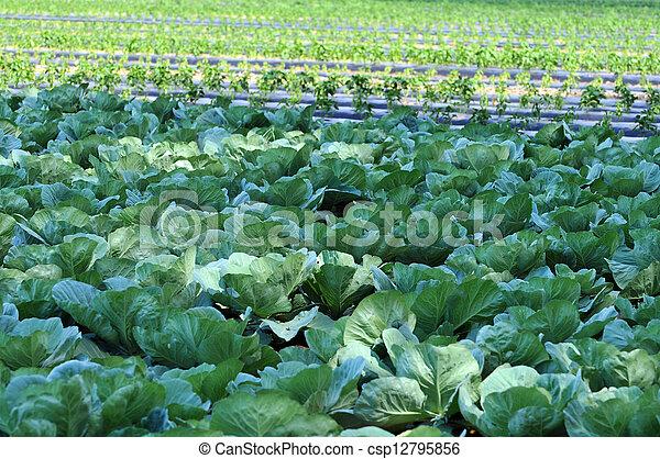 Organic Farm with Cabbage - csp12795856