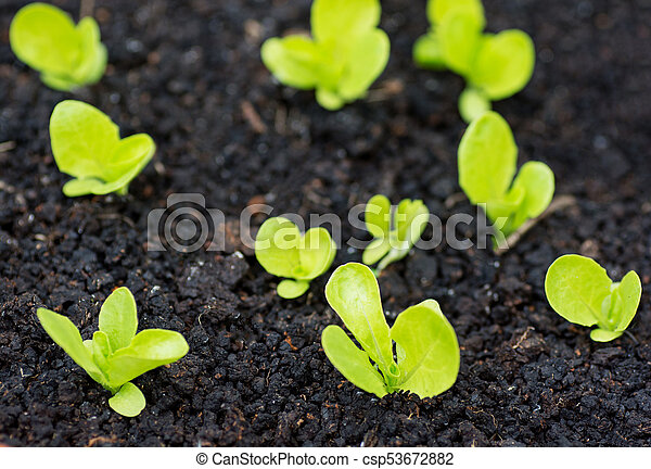 Organic garden with irrigation and small lettuce plants - csp53672882
