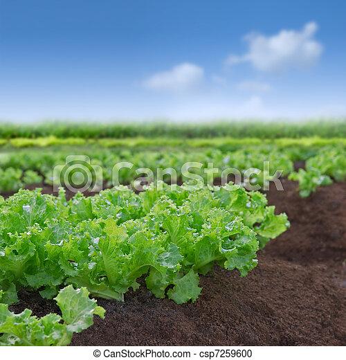 Organic lettuce garden - csp7259600