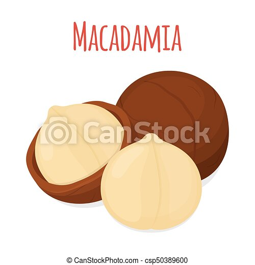 Organic macadamia, nutrition nut, oil ingredient. Flat style. Vector illustration - csp50389600
