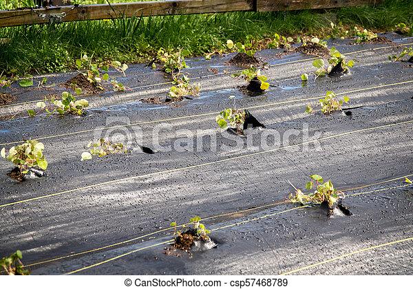 organic new cubios plants agriculture production using a black plastic Tropaeolum tuberosum - csp57468789