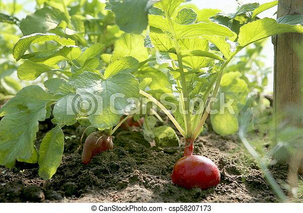 Organic red radish growing on soil in greenhouse. - csp58207173