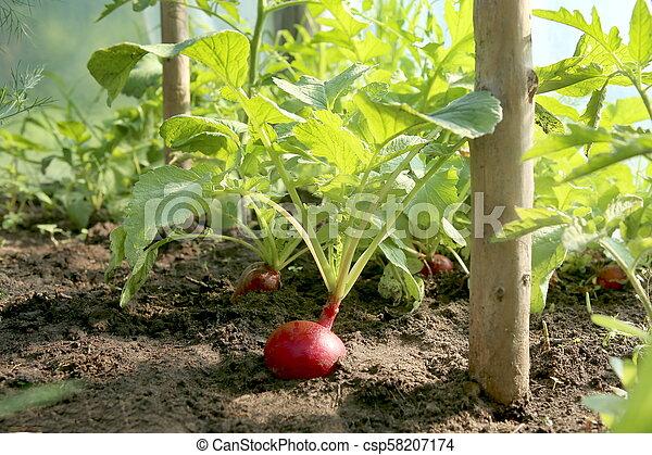 Organic red radish growing on soil in greenhouse. - csp58207174