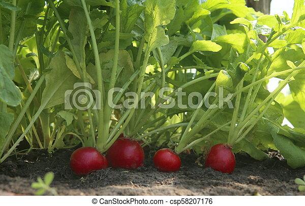 Organic red radish growing on soil in greenhouse. - csp58207176