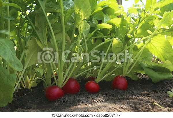 Organic red radish growing on soil in greenhouse. - csp58207177