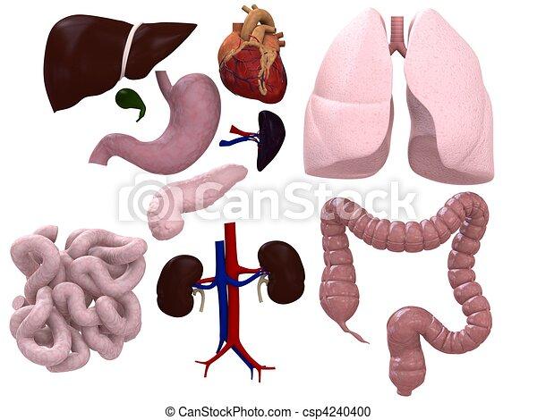 organs chart  - csp4240400