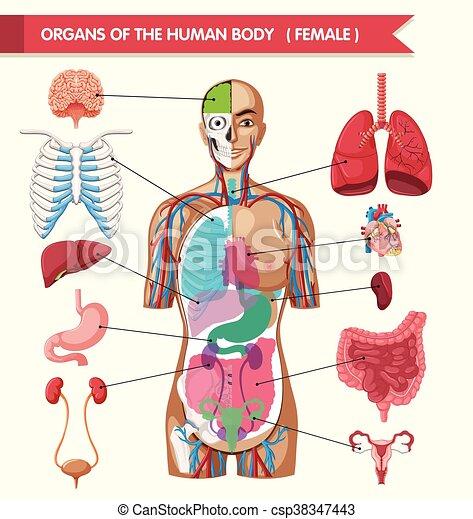 Organs of the human body diagram illustration.
