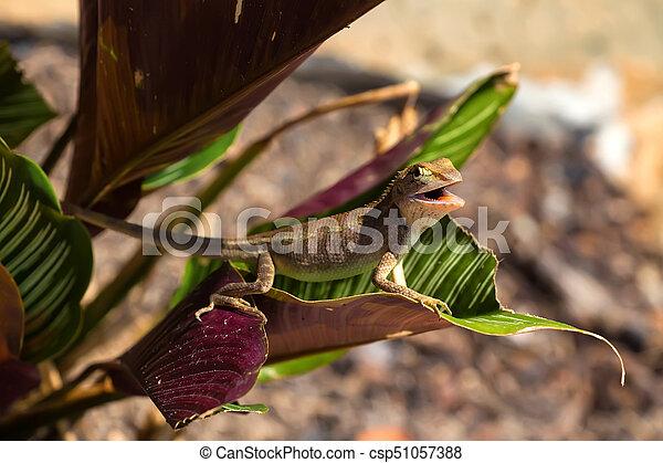 oriental garden lizard or calotes versicolor in bush - Garden Lizard