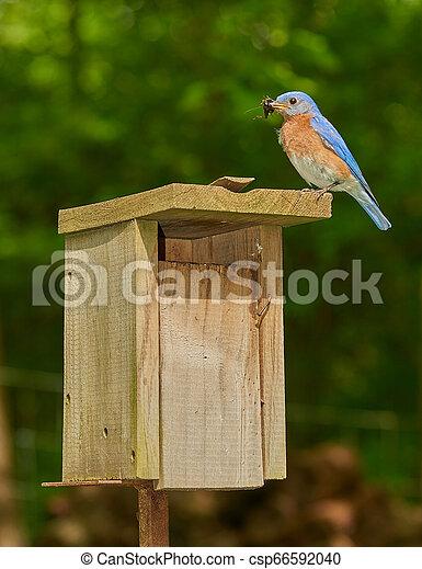 Pájaro azul masculino del este con chricket - csp66592040