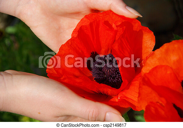 oriental poppy in hands 02 - csp2149817