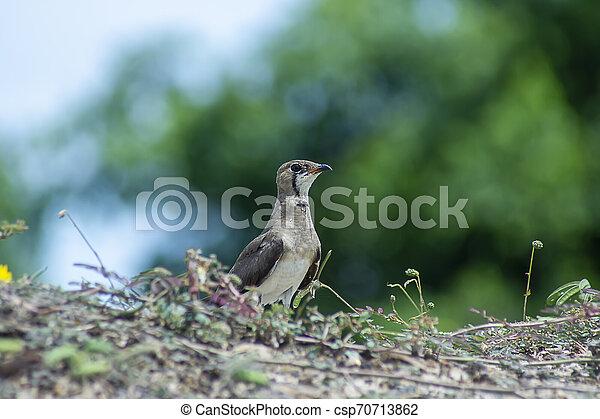 Oriental Pratincole bird on the ground. - csp70713862