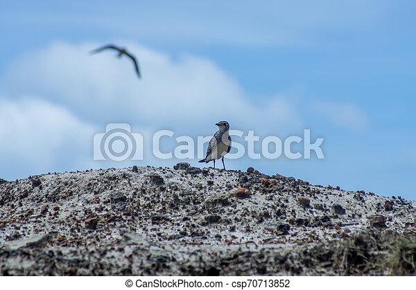 Oriental Pratincole bird on the ground. - csp70713852