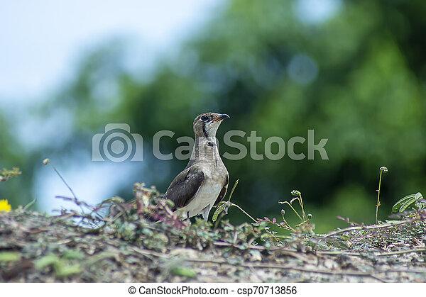 Oriental Pratincole bird on the ground. - csp70713856