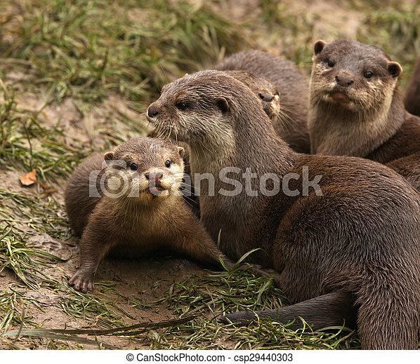 Oriental Short Clawed Otters - csp29440303