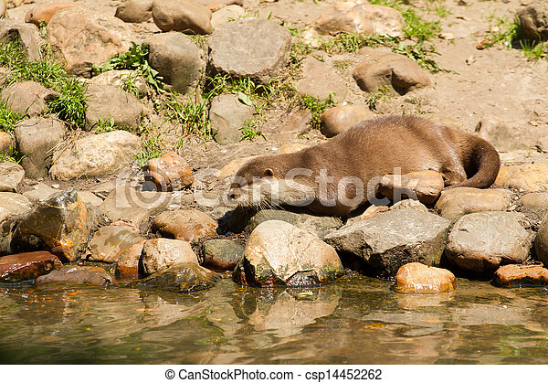 Oriental Small-Clawed Otter resting - csp14452262