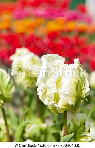 Original white tulips - csp6464835
