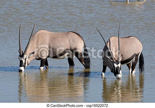 Orix (Gemsbok) drinking water - csp16522072