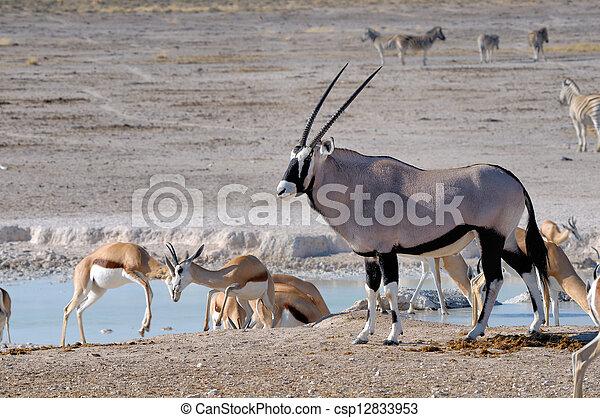 Orix (Gemsbok) y Springbok - csp12833953