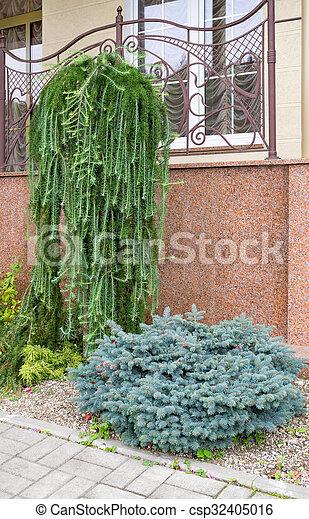 Ornamental Conifers Ornamental Blue Spruce And Juniper Near Wall