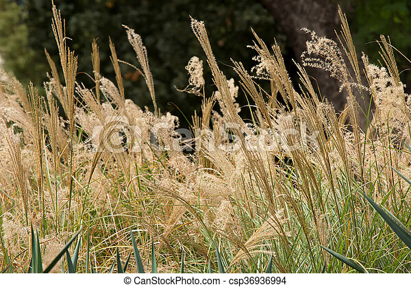 Closeup of flower heads of ornamental grass miscanthus stock ornamental grass miscanthus sinensis growing in the garden in australia csp36936994 workwithnaturefo