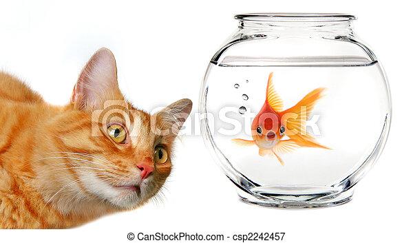 Un gato Calico mirando un pez dorado - csp2242457