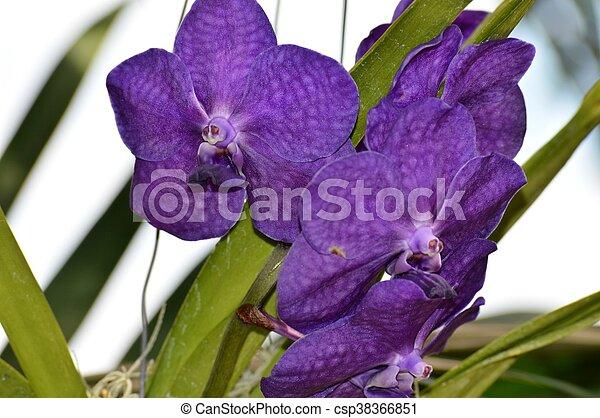 Orquídea - csp38366851