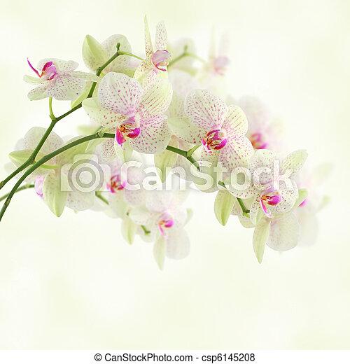 Orquídea blanca - csp6145208