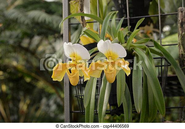Orquídea - csp44406569