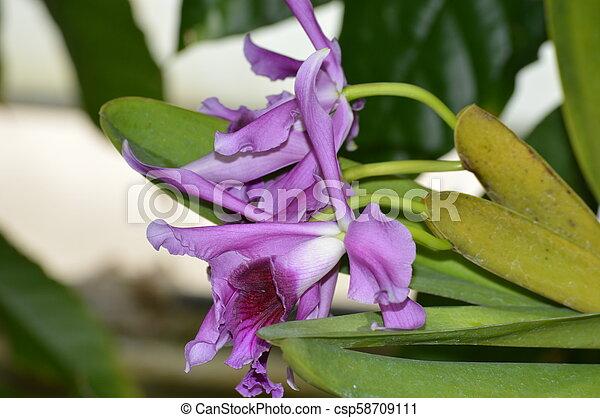 Orquídea - csp58709111