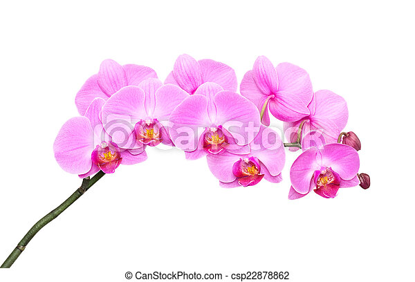 Orquídea rosa - csp22878862