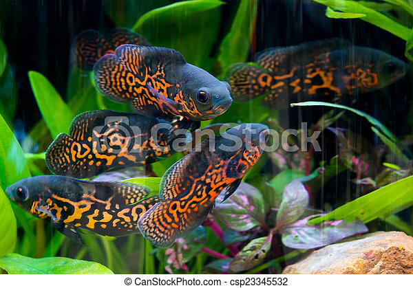 Oscar fish - csp23345532