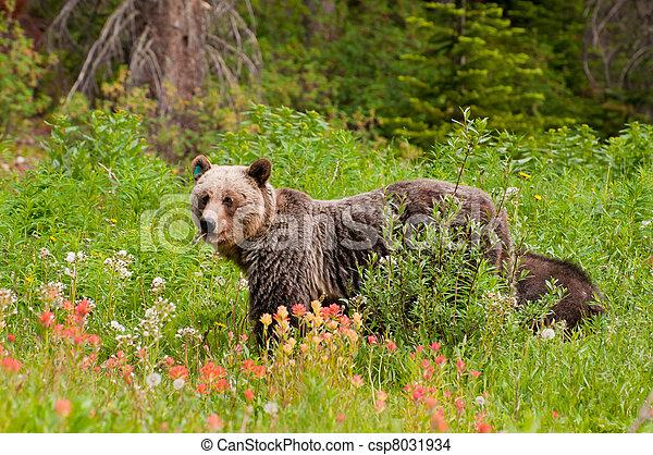 oso pardo, alimentación, oso - csp8031934