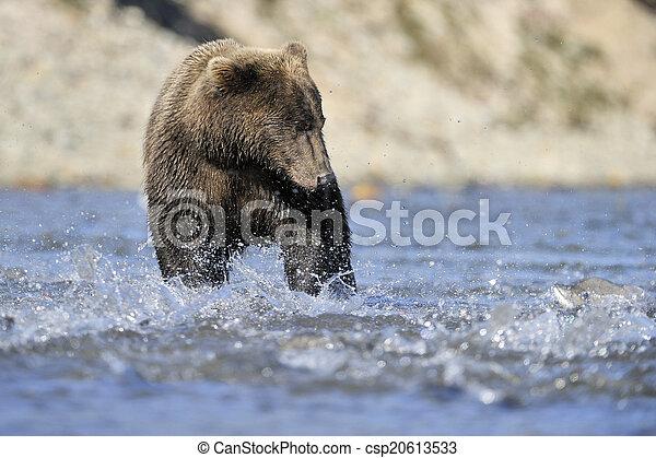 Oso pardo pescando en el agua. - csp20613533