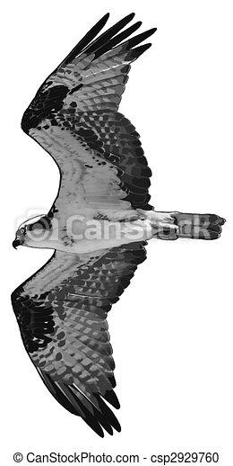 Osprey - csp2929760