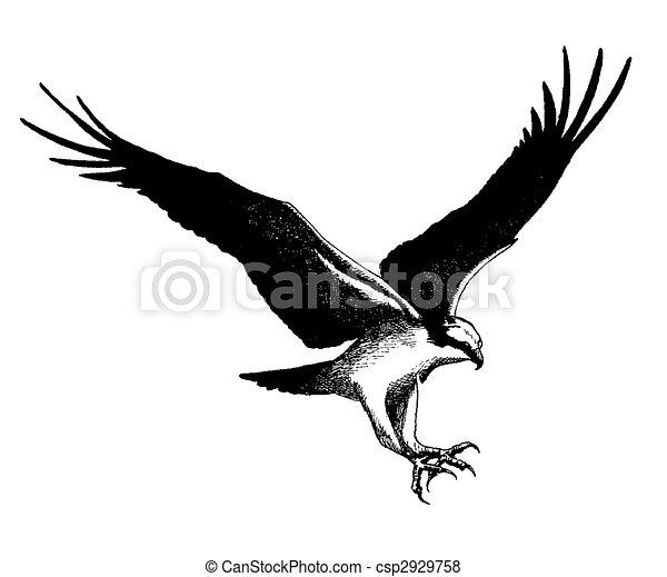 Osprey - csp2929758