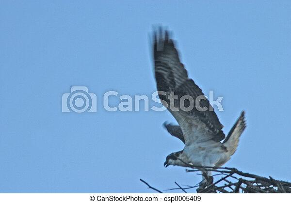 Osprey Take Off - csp0005409