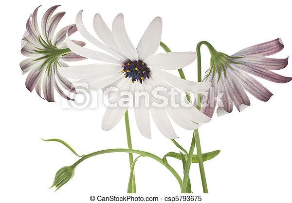 osteospermum - csp5793675